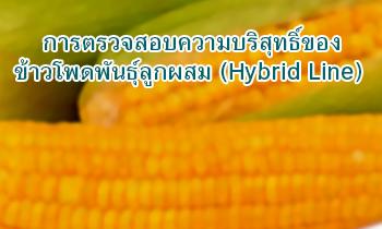 การตรวจสอบความบริสุทธิ์ข้าวโพดพันธุ์ลูกผสม (Hybrid Line)